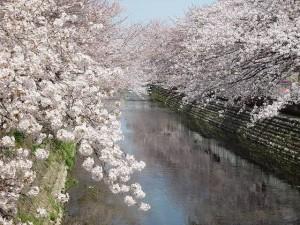 ooegawa_sakura-s